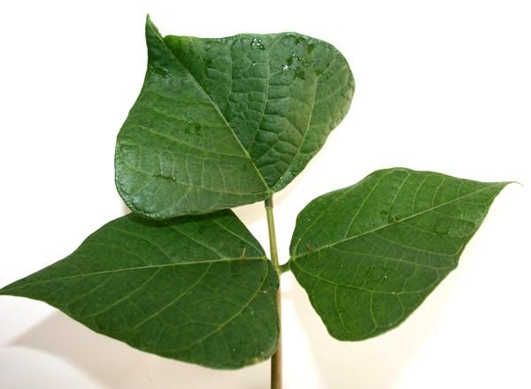 Muda de Suinã - Erythrina velutina