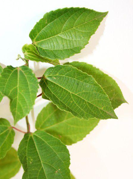 Muda de Tapiá - Alchornea sidifolia