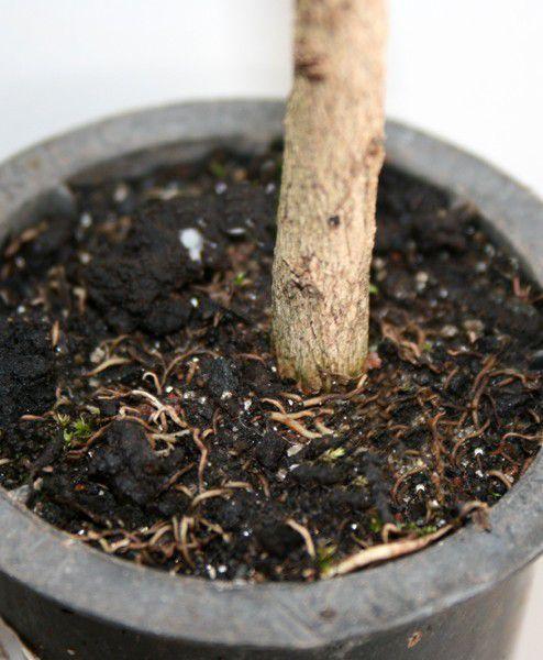 Muda de Tarumã - Vitex montevidensis