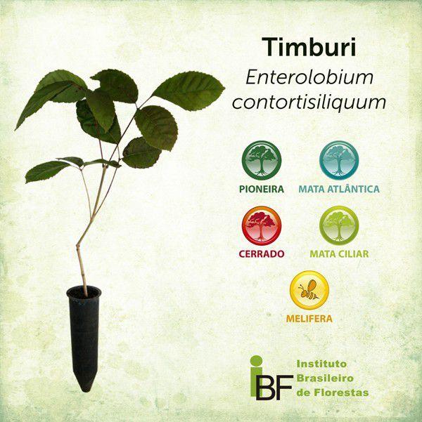 Muda de Timburi - Enterolobium contortisiliquum