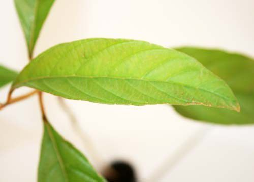 Muda de Tucaneiro - Cytharexyllum myrianthum