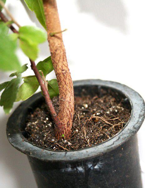 Muda de Vacum - Allophylus edulis