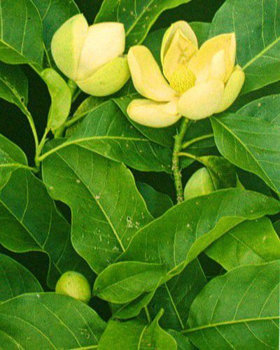 Mudas de Baguaçu/Pinha do Brejo - Magnolia ovata