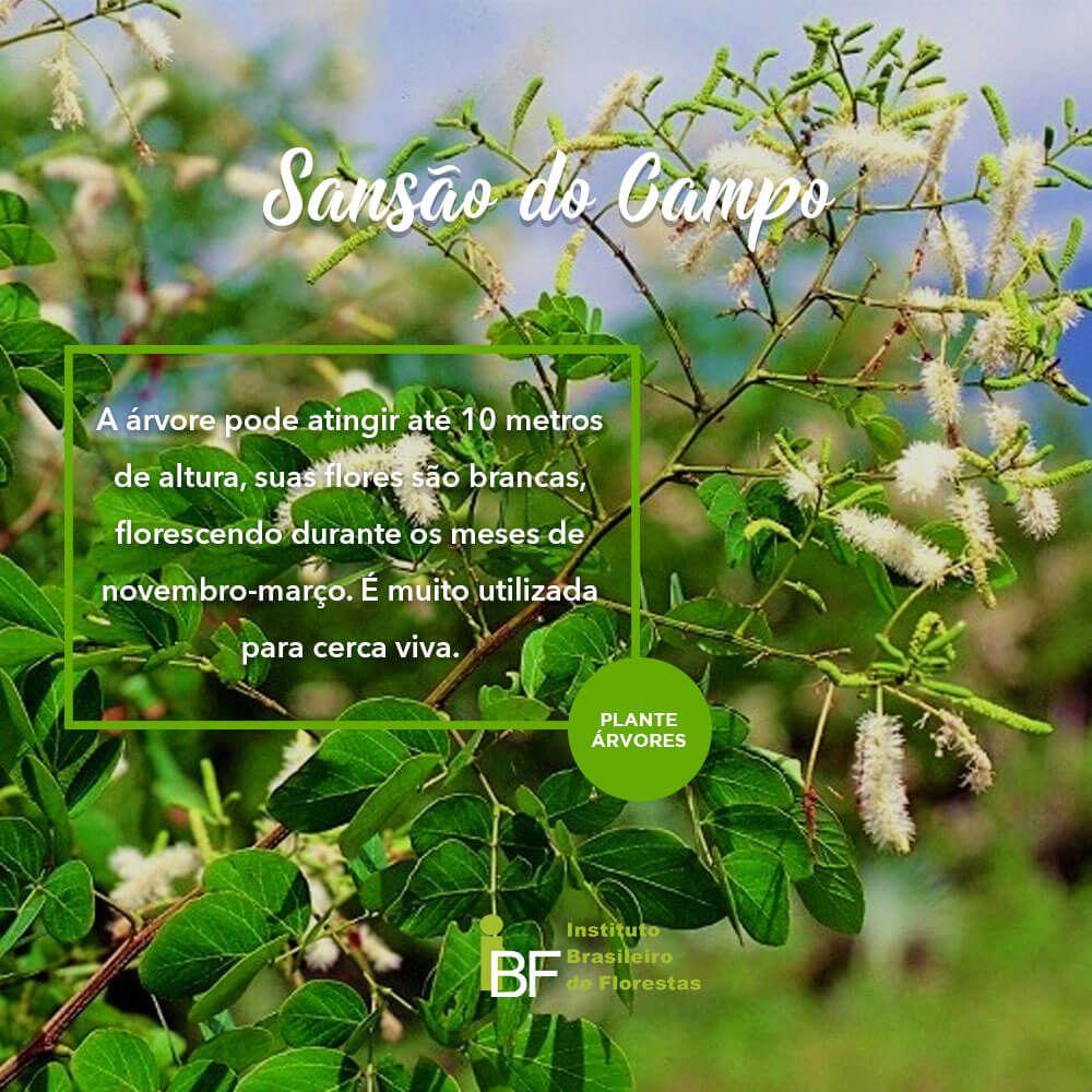 Mudas de Sansão do Campo - Mimosa caesalpiniifolia