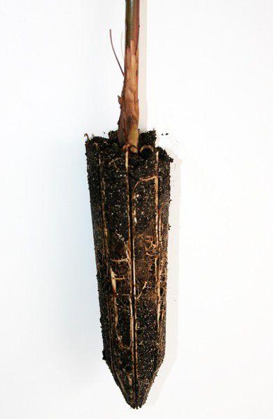 Muda de Palmito Juçara - Euterpe edulis