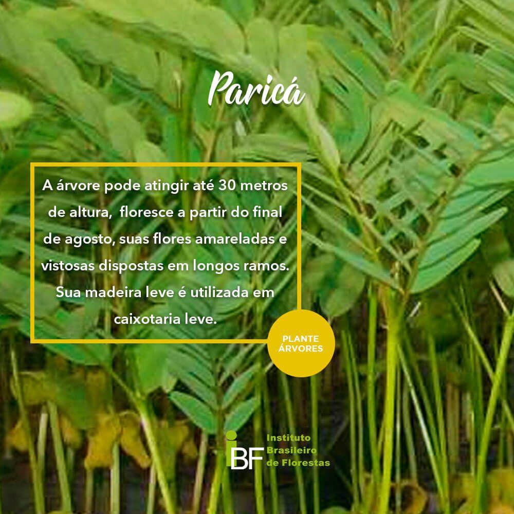 Muda de Paricá - Schizolobium amazonicum