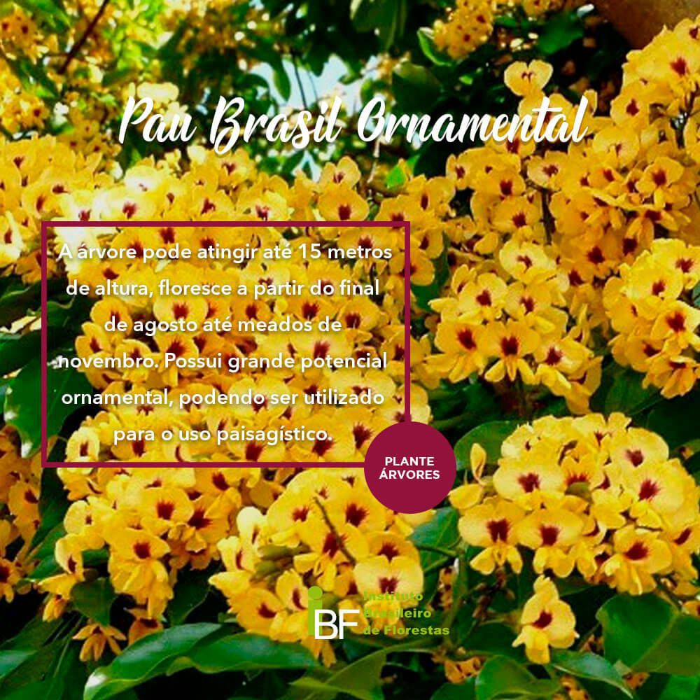 Muda de Pau Brasil Ornamental - Caesalpinia echinata