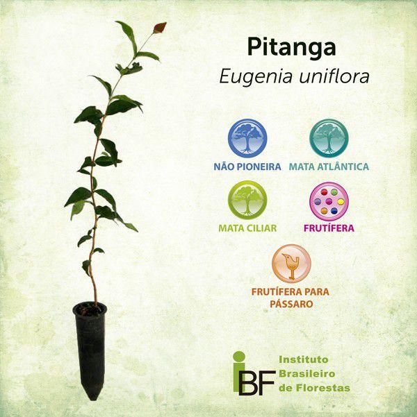 Muda de Pitanga
