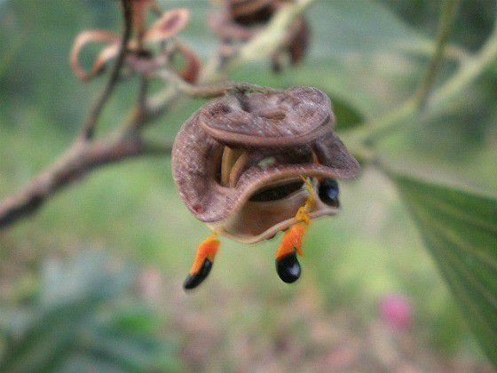 Sementes de Acácia Australiana - Acacia mangium - 250g
