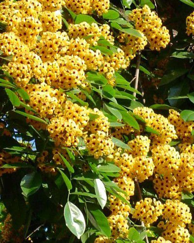 Sementes de Aldrago - Pterocarpus violaceous - 250g