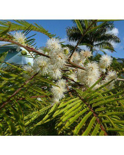 Sementes de Angico Branco do Morro - Andenanthera peregrina - 100g