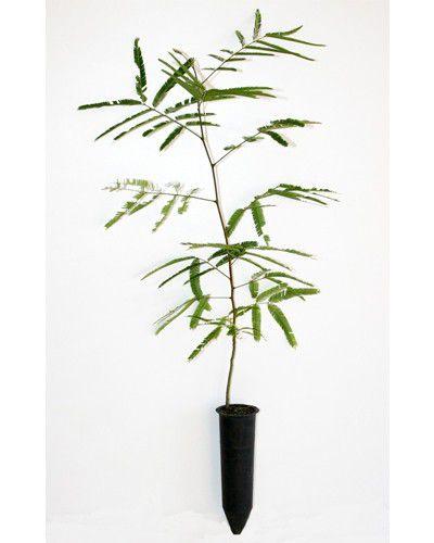 Sementes de Angico Vermelho/Preto - Anadenanthera macrocarpa - 100g