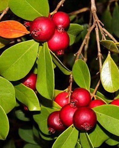 Sementes de Araça Vermelho - Psidium cattleyanum - 100g