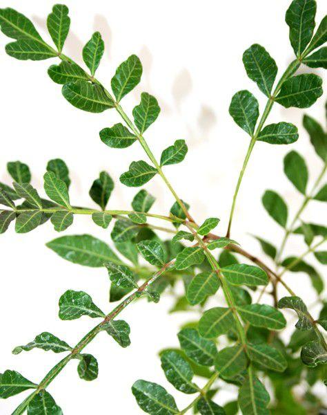 Sementes de Aroeira Preta - Myracrodruon urundeuva - 250g