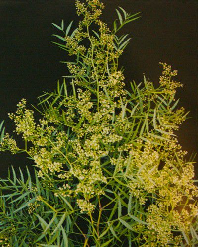 Sementes de Aroeira Salsa - Schinus molle - 250g