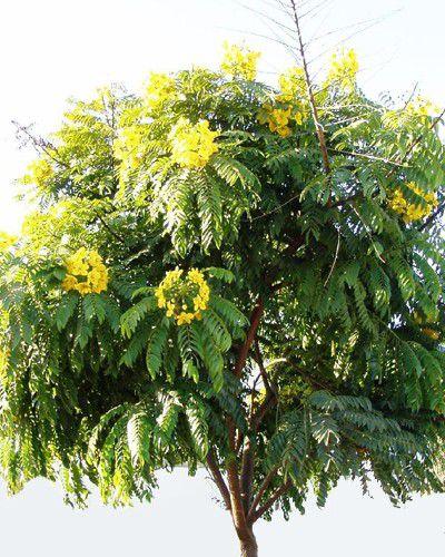 Sementes de Barbatimão Ornamental - Cassia leptophylla vogel