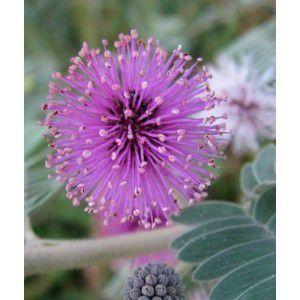 Sementes de Bracatinga Branca - Mimosa flocculosa - 100g