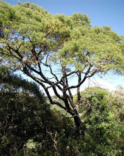 Sementes de Bracatinga - Mimosa scrabella