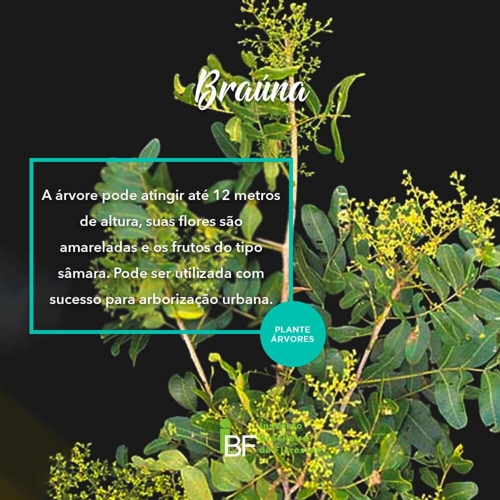 Sementes de Braúna - Schinopsis brasiliensis - 250g