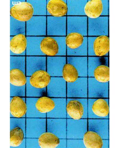 Sementes de Canela Amarela - Ocotea velutina - 250g