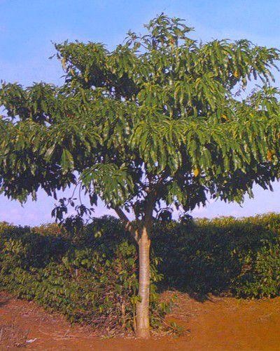 Sementes de Casca D'Anta - Rauvolfia sellowii - 250g