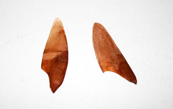 Sementes de Cedro Rosa - Cedrela fissilis - 250g