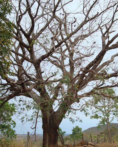 Sementes de Chimbuva - Enterholobium timbouva