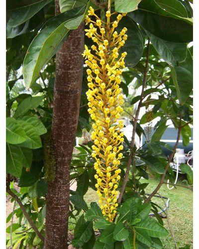 Sementes de Chuva de Ouro - Cassia ferruginea - 100g