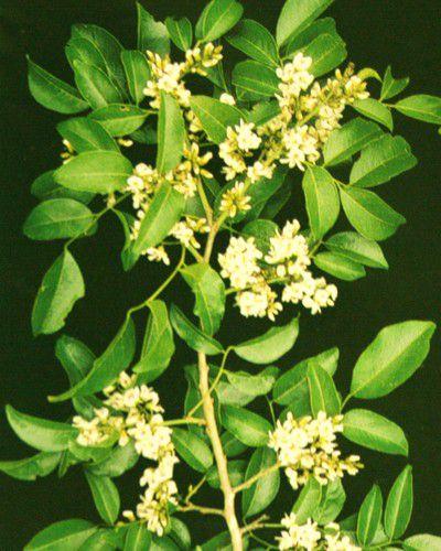 Sementes de Coração de Negro - Poecilanthe parviflora