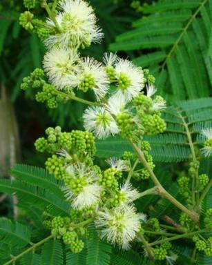 Sementes de Farinha Seca - Albizia niopoides - 100g