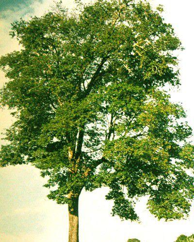 Sementes de Figueira Branca - Ficus guaranitica