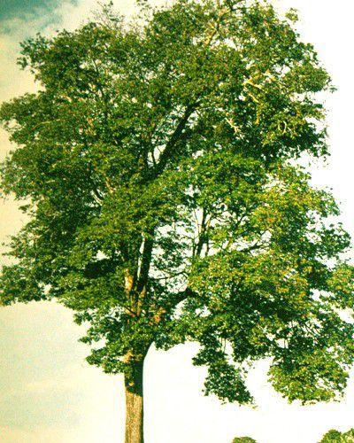 Sementes de Figueira Branca - Ficus guaranitica - 100g