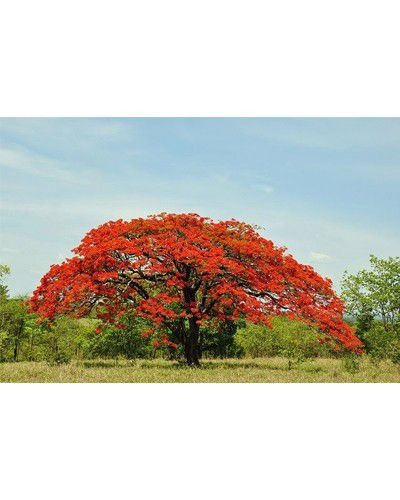 Sementes de Flamboyant Vermelho - Delonix regia - 100g