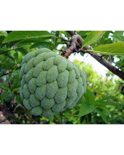 Sementes de Fruta da Condessa - Rollinia mucosa - 250g