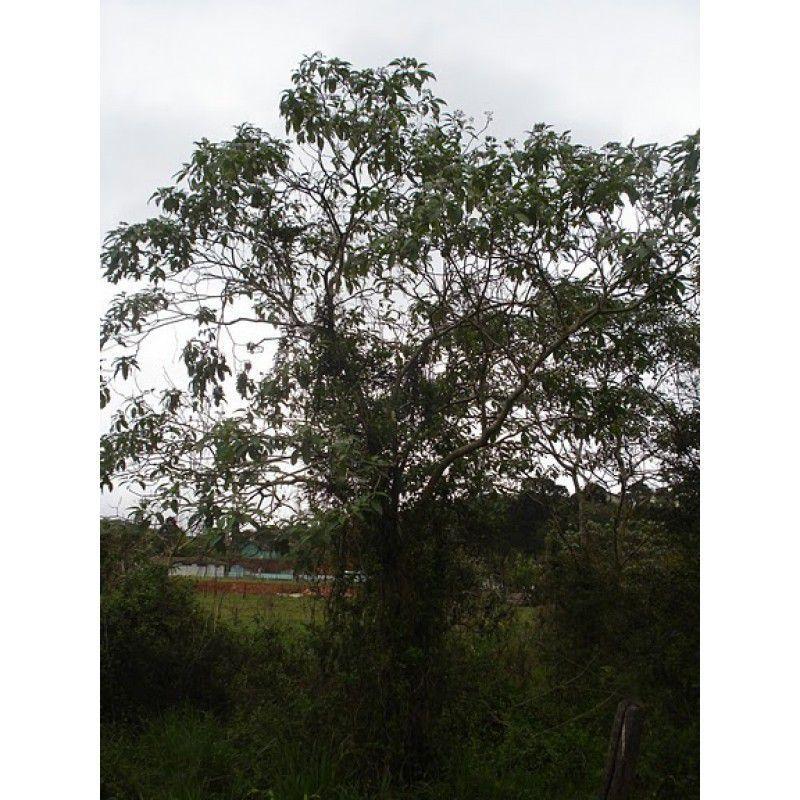 Sementes de Fumo Bravo - Solanum granuloso-leprosum - 100g