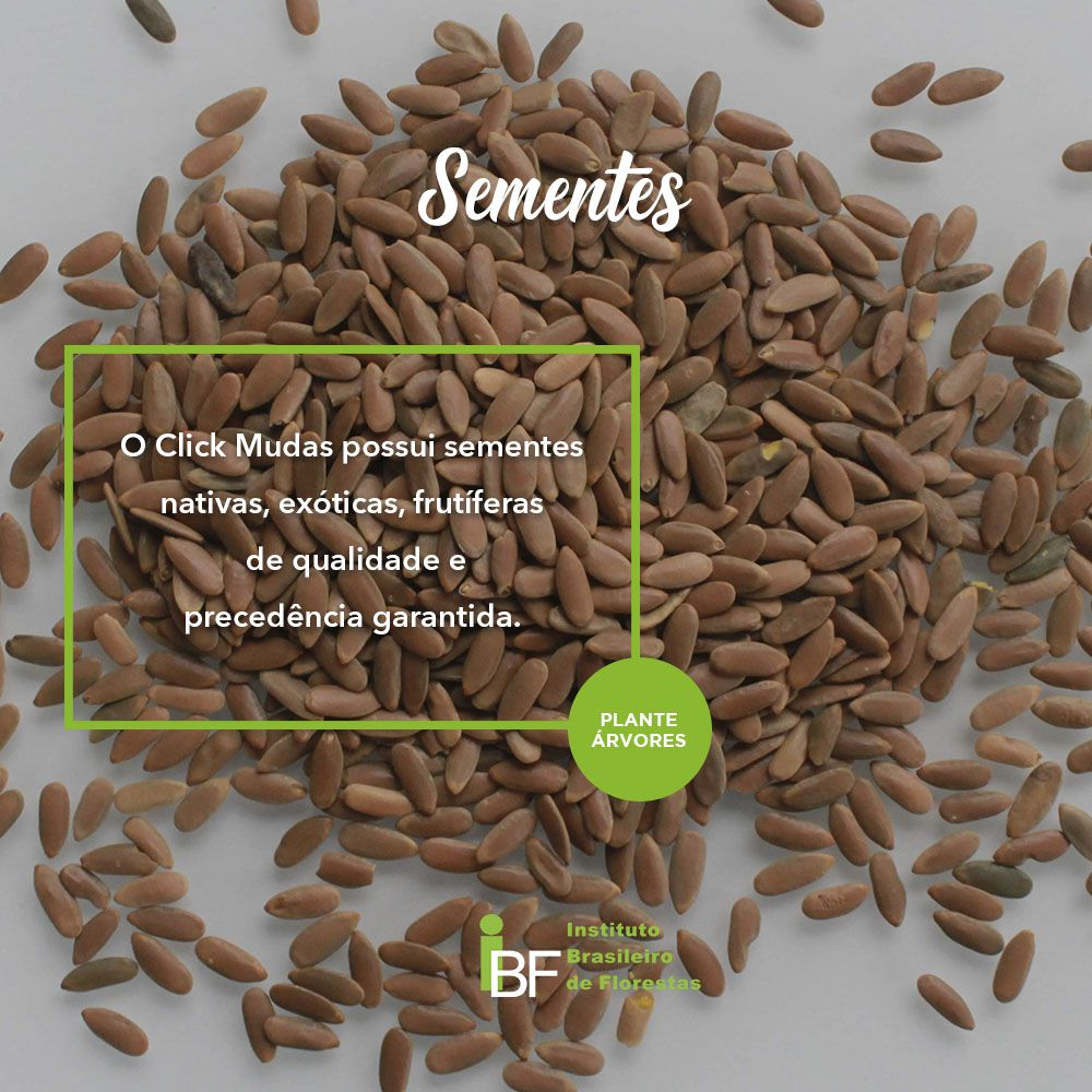 Sementes de Guanandi - Calophyllum brasiliense - 1kg