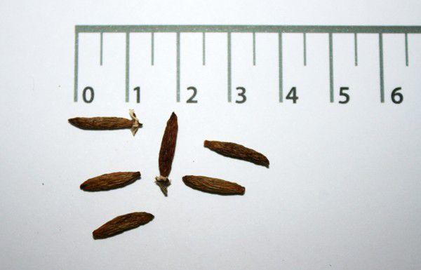 Sementes de Guaritá - Astronium graveolens - (com casca) - 100g