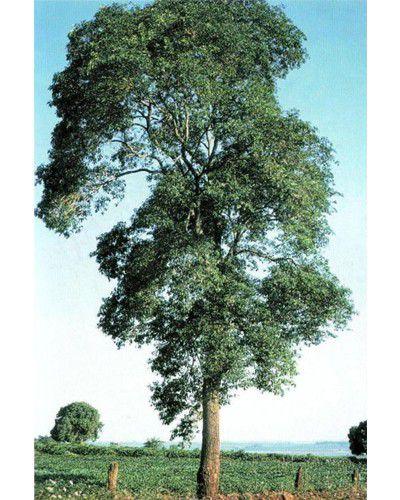 Sementes de Guatambu - Aspidosperma parvifolium - 250g