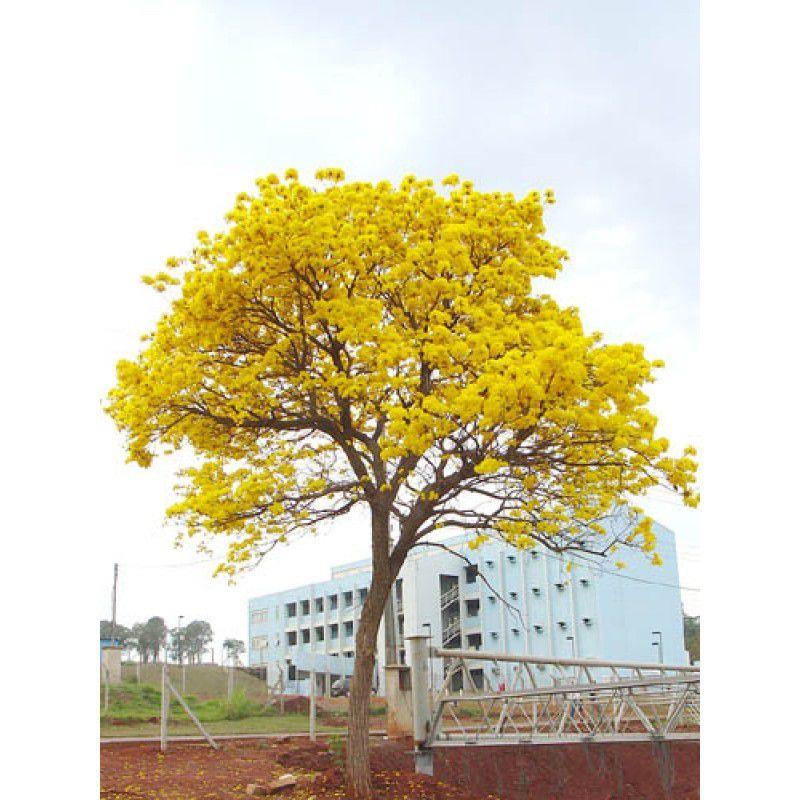 Sementes de Ipê Amarelo da Serra - Handroanthus albus - 250g