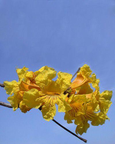 Sementes de Ipê Amarelo - Handroanthus ochraceus