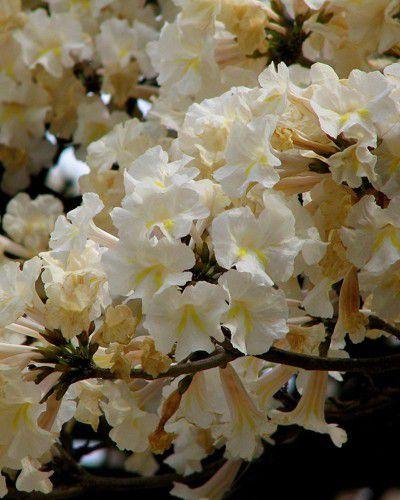 Sementes de Ipê Branco - Tabebuia roseoalba - 250g