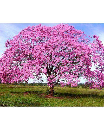 Sementes de Ipê Rosa - Handroanthus avellanedae - 250g