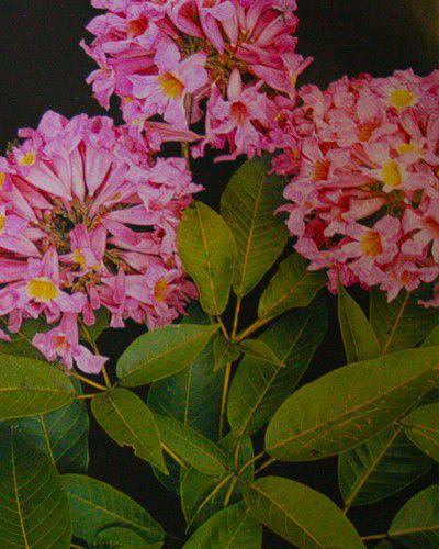 Sementes de Ipê Roxo - Handroanthus heptaphyllus - 250g