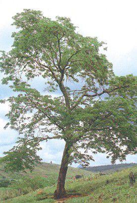 Sementes de Jacarandá da Bahia - Dalbergia nigra - 100g