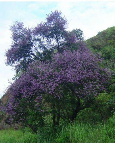 Sementes de Jacaranda de Espinho - Machaerium hirtum - 250g
