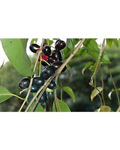 Sementes de Jambolão - Syzygium jambolanum - 250g