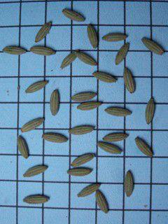 Sementes de Louro Pardo - Cordia trichotoma - 250g