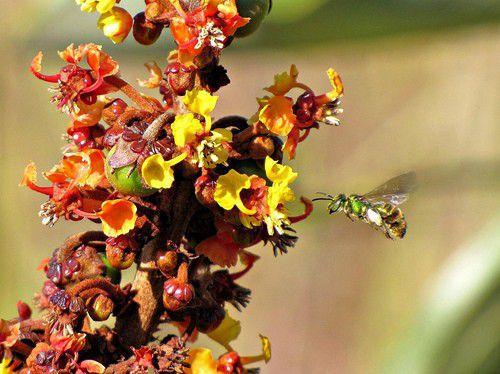 Sementes de Murici Rasteiro - Byrsonima verbacifolia - 250g