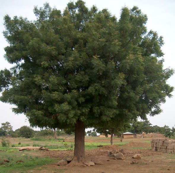 Sementes de Neem Indiano - Azadirachta indica