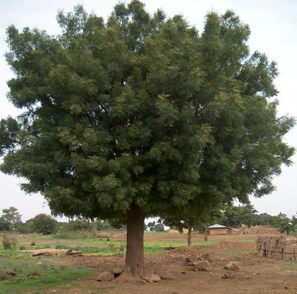 Sementes de Neem Indiano - Azadirachta indica - 500g